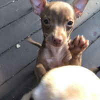Chihuahua Puppies for sale in Independence, KY, USA. price: NA