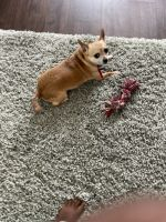 Chihuahua Puppies for sale in Garner, NC, USA. price: NA
