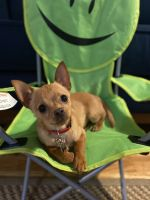 Chihuahua Puppies for sale in Portland, OR, USA. price: NA