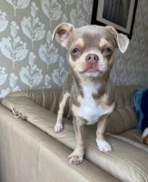 Chihuahua Puppies for sale in New York, NY, USA. price: NA