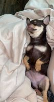 Chihuahua Puppies for sale in Charlotte, NC, USA. price: NA