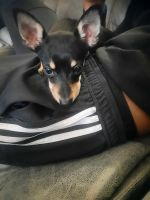 Chihuahua Puppies for sale in Stone Mountain, GA 30088, USA. price: NA