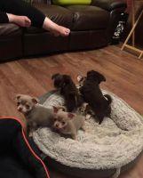Chihuahua Puppies for sale in Atlanta, GA, USA. price: NA