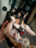 Chihuahua Puppies for sale in Joppatowne, MD 21085, USA. price: NA