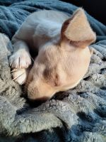 Chihuahua Puppies for sale in Mesa, AZ 85204, USA. price: NA