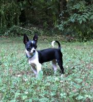 Chihuahua Puppies for sale in Amelia Court House, VA 23002, USA. price: NA