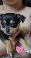 Chihuahua Puppies for sale in Daytona Beach, FL, USA. price: NA