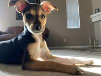 Chihuahua Puppies for sale in Santa Clarita, CA, USA. price: NA