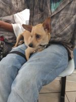 Chihuahua Puppies for sale in Albuquerque, NM, USA. price: NA