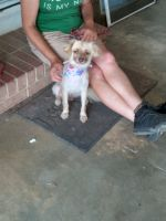 Chihuahua Puppies for sale in Benson, NC 27504, USA. price: NA