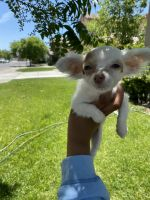 Chihuahua Puppies for sale in Lancaster, CA, USA. price: NA