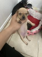 Chihuahua Puppies for sale in 4757 W Mt Houston Rd, Houston, TX 77088, USA. price: NA