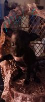 Chihuahua Puppies for sale in Braxton, MS 39044, USA. price: NA