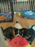 Chihuahua Puppies for sale in Riverside, Jacksonville, FL, USA. price: NA