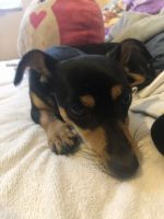 Chihuahua Puppies for sale in Kissimmee, FL 34744, USA. price: NA