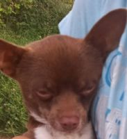 Chihuahua Puppies for sale in Columbus, OH, USA. price: NA