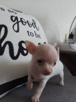 Chihuahua Puppies for sale in Kingman, AZ, USA. price: NA