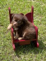 Chihuahua Puppies for sale in Jesup, GA, USA. price: NA