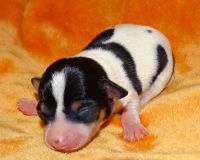 Chilean Fox Terrier Puppies Photos