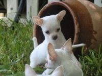 Chilean Fox Terrier Puppies for sale in Austin, TX, USA. price: NA