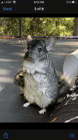 Chinchilla Rodents for sale in Vineland, NJ 08361, USA. price: NA