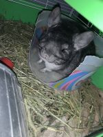 Chinchilla Rodents for sale in Bend, OR 97701, USA. price: NA