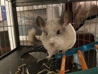 Chinchilla Rodents for sale in Huntingtown, MD 20639, USA. price: NA