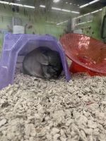 Chinchilla Rodents for sale in Erlanger, KY, USA. price: NA
