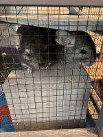 Chinchilla Rodents for sale in Dearborn Heights, MI 48127, USA. price: NA