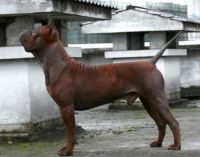 chinese chongqing dog dog