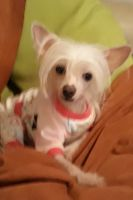 Chinese Crested Dog Puppies Photos