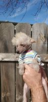Chinese Crested Dog Puppies for sale in Trenton, MI 48183, USA. price: NA