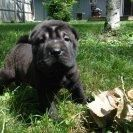 Chinese Shar Pei Puppies for sale in Freeland, MI 48623, USA. price: NA