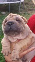 Chinese Shar Pei Puppies for sale in Springfield, MO, USA. price: NA