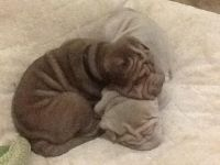 Chinese Shar Pei Puppies for sale in Charlotte, NC, USA. price: NA