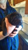 Chinese Shar Pei Puppies for sale in Paulding, OH 45879, USA. price: NA