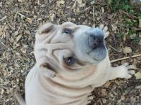 Chinese Shar Pei Puppies for sale in Dibrell, TN 37110, USA. price: NA