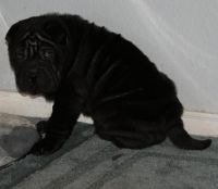 Chinese Shar Pei Puppies for sale in Flint, MI, USA. price: NA