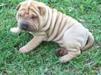 Chinese Shar Pei Puppies for sale in Fayetteville, NC, USA. price: NA