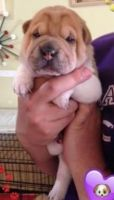 Chinese Shar Pei Puppies for sale in Cleveland, OH, USA. price: NA