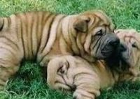 Chinese Shar Pei Puppies for sale in Killington, VT 05751, USA. price: NA