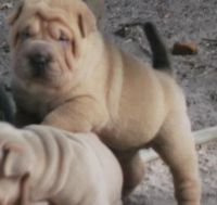 Chinese Shar Pei Puppies for sale in Jackson, MS, USA. price: NA