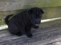 Chinese Shar Pei Puppies for sale in Albuquerque, NM, USA. price: NA