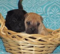 Chinese Shar Pei Puppies for sale in Cincinnati, OH, USA. price: NA