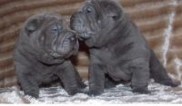Chinese Shar Pei Puppies for sale in Los Angeles, CA, USA. price: NA