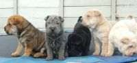 Chinese Shar Pei Puppies for sale in Honolulu, HI, USA. price: NA