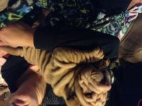 Chinese Shar Pei Puppies for sale in Salt Lake City, UT, USA. price: NA