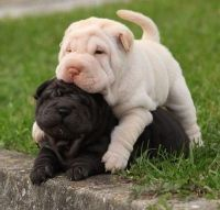 Chinese Shar Pei Puppies for sale in Raleigh, NC, USA. price: NA
