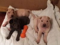 Chinese Shar Pei Puppies for sale in Baltimore, MD, USA. price: NA