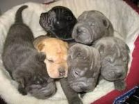 Chinese Shar Pei Puppies for sale in Concord, CA, USA. price: NA